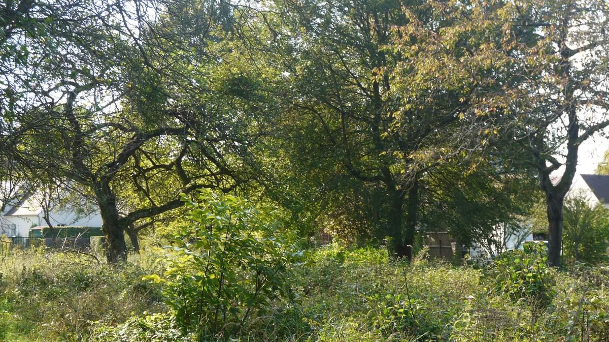 Dans le fouillis des anciens jardins subsistent quelques pommiers